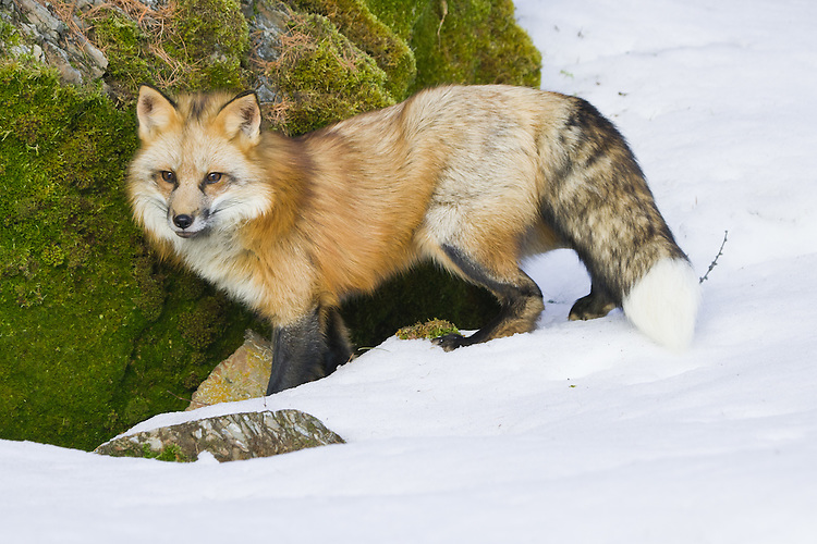 Red Fox in the snow- CA