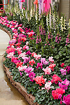 DISPLAY OF 'SIERRA SYNCHRO' CYCLAMEN MIX AND 'CAMELOT' FOXGLOVE MIX BY GOLDSMITH SEEDS