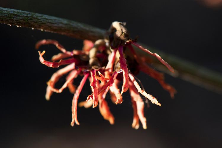 Witch hazel (Hamamelis x intermedia 'Hiltingbury'), end January.