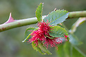 Robin's Pincushion Gall caused by Gall wasp {Diplolepis rosae} on wild Dog Rose {Rosa canina}, Peak District National Park, Derbyshire, UK. August.