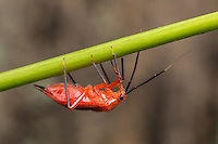 An adult mirid plant bug (Coccobaphes frontifer) clings to a plant stalk.