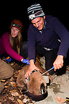 Mountain Lion (Puma concolor) biologist, Chris Wilmers, placing satellite collar on sub-adult male, Santa Cruz Puma Project, Santa Cruz, Monterey Bay, California