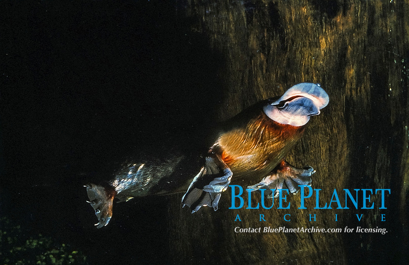 platypus or duck-billed platypus, Ornithorhynchus anatinus, endemic species to eastern Australia and Tasmania