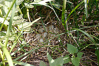 Stockente, Nest, Gelege mit Ei, Eiern, Anas platyrhynchos, mallard