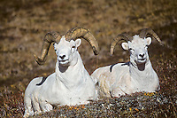 Dall sheep rams (Ovis dalli), Alaska