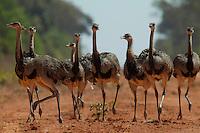 Ema (Rhea americana)<br /> <br /> Características físicas: o dorso é marrom acinzentado, com a parte inferior mais clara. O macho distinguese por ter a base do pescoço negra. Tem as pernas fortes e três dedos nos pés. Maior ave do continente, um adulto macho pode atingir 1,70 m de comprimento e pesar até 34 kg.<br /> Alimentação: sua dieta é composta de folhas, frutos, sementes, insetos e pequenos animais, como répteis e roedores.<br /> Biologia e comportamento social: ave terrícola, gregária e excelente corredora, vive em bandos de cerca de 30 aves que se deslocam com freqüência à procura de alimentos, no chão. As asas servem para dar<br /> equilíbrio e mudar a direção durante a corrida, quando ela pode atingir uma velocidade superior a 60 km por hora.<br /> Reprodução: têm hábitos peculiares de reprodução. O macho, dominante do bando, expulsa os rivais e reúne um harém de três a seis fêmeas, que põem seus ovos em um mesmo ninho, uma concavidade rasa no solo. A postura completa varia entre 20 e 30 ovos esbranquiçados, elípticos, que pesam cerca de 600g. O macho é quem choca os ovos, por cerca de 40 dias, e cuida dos filhotes. Por volta dos seis meses, os filhotes já têm o tamanho de uma fêmea adulta.<br /> Predadores: os ovos são comidos pelo lagarto teiú (Tupinambis sp.) e os filhotes pelo loboguará (Chrysocyon brachyurus), felinos de pequeno porte e gaviões. Habitam campos abertos e cerrados.<br /> <br /> Grandes plantações de soja, milho e algodão cercam o Parque Indígena do Xingu  (PIX) .Habitados pelas etnias Aweti, Ikpeng, Kaiabi, Kalapalo, Kamaiurá, Kĩsêdjê, Kuikuro, Matipu, Mehinako, Nahukuá, Naruvotu, Wauja, Tapayuna, Trumai, Yudja, Yawalapiti, o parque ocupa área de 2.642.003 hectares na região nordeste do Estado do Mato Grosso, De acordo com o IMEA - Instituto Mato-Grossense de Economia Agropecuária declarou último dia 7 de agosto de 2015 no informativo 365 divulgou dados novos das safras de soja em MT com a s