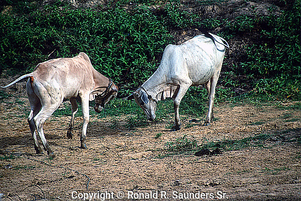 TWO WATER BUFFALO COMBAT<br /> <br /> Livestock are domesticated animals raised in an agricultural setting to produce commodities such as food, fiber and labor.