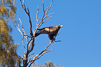 Wedge-Tailed Eagle, road Ti Tree to Alice Springs, NT Outback, Australia