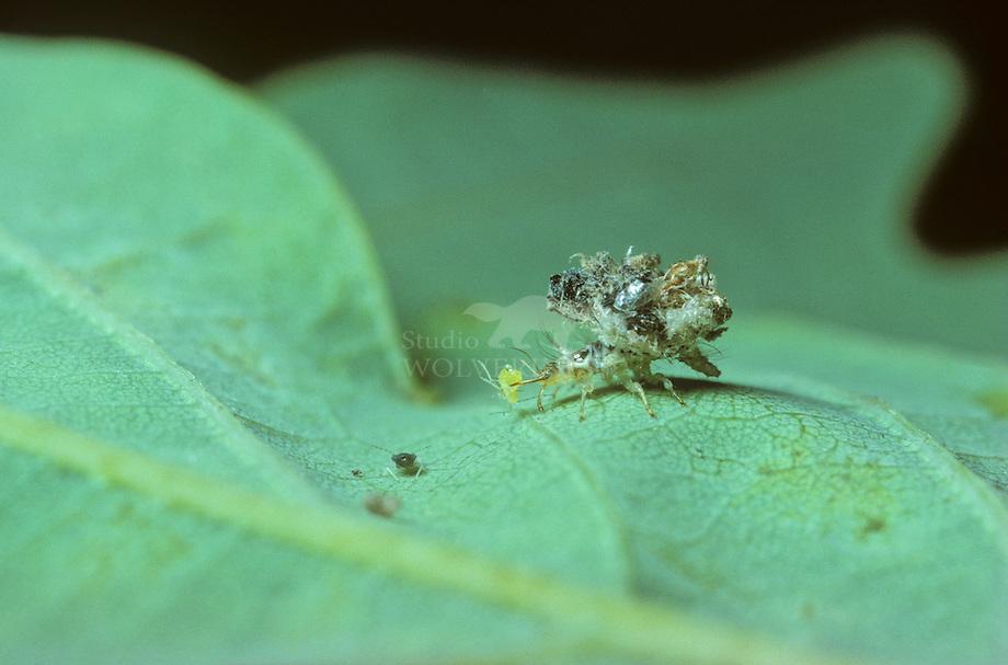 Groene Gaasvlieg (Dichochrysa sp.). larve.