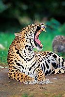 jaguar, Panthera onca, adult, female, yawning