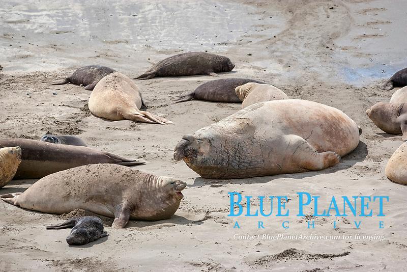 southern elephant seal, Mirounga leonina, male with harem of feamles and pups, Punta Delgada, Peninsula Valdes, Chubut, Patagonia, Argentina, Atlantic Ocean