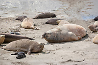 southern elephant seal, Mirounga leonina, male with harem of feamles and pups, Punta Delgada, Peninsula Valdes, Chubut, Patagonia, Argentina, Atlantic Ocean