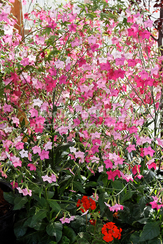 NICOTIANA 'WHISPER ROSE SHADES', FLOWERING TOBACCO