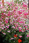 NICOTIANA 'WHISPER ROSE SHADES', FLOWERING TOBACCO