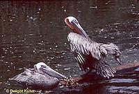 PE01-001z  Brown Pelican - preening feathers - Pelecanus occidentalis