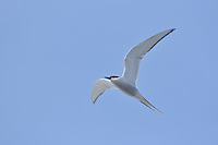 Arctic tern - Svalbard Archipelago