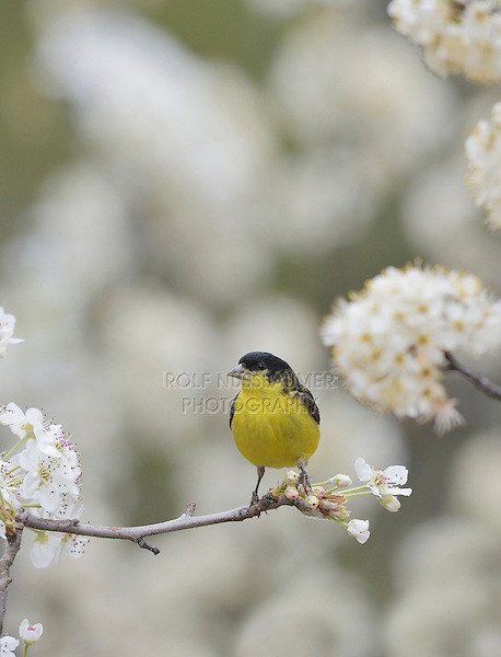 Lesser Goldfinch (Carduelis psaltria),  male perched on blooming Mexican Plum (Prunus mexicana) , Hill Country, Texas, USA