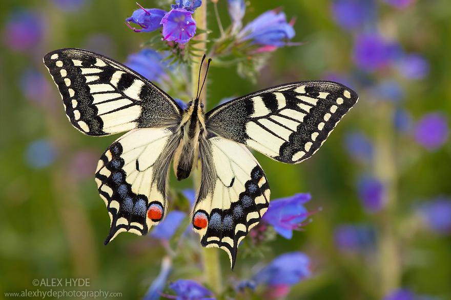 Common Swallowtail butterfly {Papilio machaon} feeding on Viper's Bugloss / Blueweed {Echium vulgare} in alpine meadow. Nordtirol, Tirol, Austrian Alps, 1700 metres altitude, July.