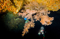 scuba diver and feathery black coral, Antipathes ulex, Second Cathedral, Lanai, Hawaii, USA, Pacific Ocean, MR