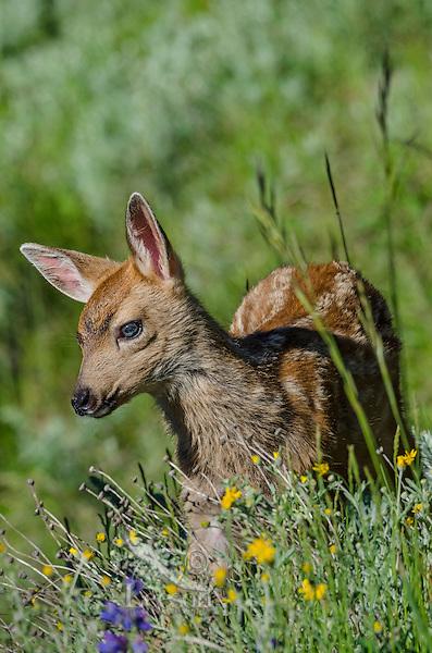 Columbian black-tailed deer (Odocoileus hemionus columbianus) fawn standing among wildflowers.  Pacific Northwest.  Summer.