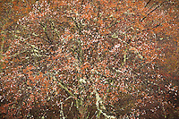 Ancient sarvis, Blue Ridge Parkway