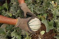 Contadini durante la raccolta di meloni. Farmers during the harvesting of melons.