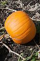 Pumpkin 'Connecticut Field', late September. An heirloom squash, widely regarded as the original Halloween pumpkin.