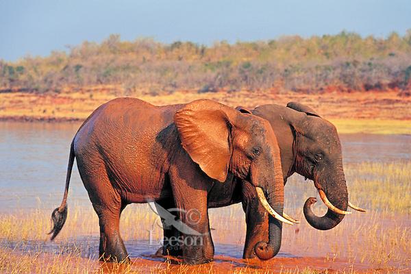 African elephant (Loxodonta africana) bulls taking mud bath in Lake Kariba, Zimbabwe.