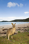 Eastern Grey Kangaroo (Macropus giganteus) sub-adult on beach, Pebbly Beach, Murramarang National Park, New South Wales, Australia