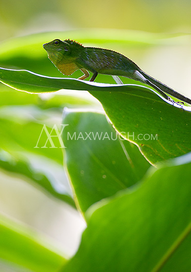 A green crested lizard photographed on the grounds of the Borneo Rainforest Lodge.
