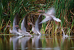 Greylag Geese, Russia
