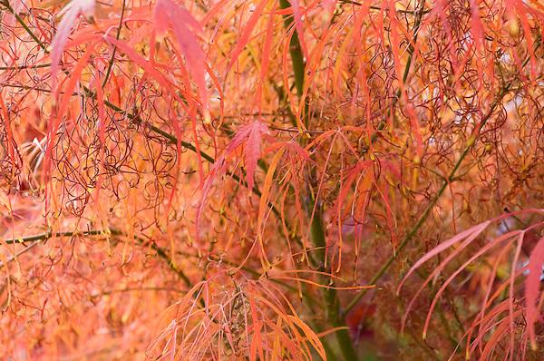 Acer Palmatum 'Shinobuga Oka'