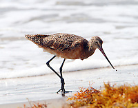 Marbled godwit in post-breeding plumage on July 4