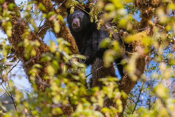 Black Bear (Ursus americanus) on the side of a big-leaf maple tree (Acer macrophyllum).  Pacific Northwest.  Spring.