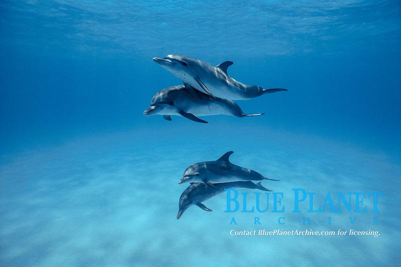 Atlantic Spotted Dolphins (Stenella frontalis) , Caribbean, Bahamas, White Sand Ridge