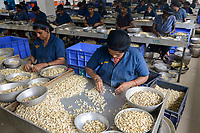 INDIA, Karnataka, Moodbidri, cashew processing factory, imported nuts from africa are processed for export , women sorting different qualities and size / INDIEN, Fabrik fuer Verarbeitung von aus Afrika importierten Kaschunuessen, Frauen sortieren nach Qualitaet und Groesse