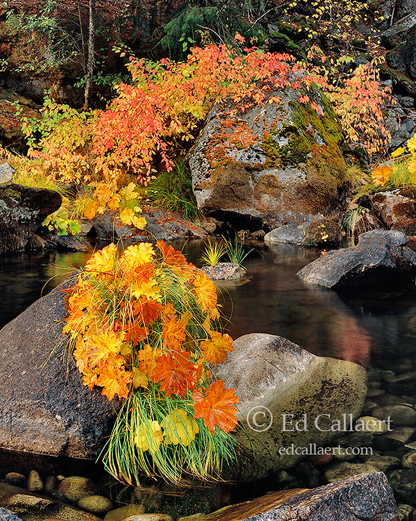 Indian Rhubarb, Dogwood, Yosemite National Park, California