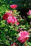 Multi flora rose