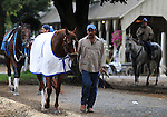 16 August 2008: 2007 Horse of the Year Curlin walks shed row to cool down after a morning workout at Saratoga Race Course in Saratoga Springs, New York.  Curlin is pointed towards the Woodward Stakes on the final day of the Saratoga Summer Meet.