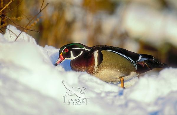 Wood Duck (Aix sponsa) drake in snow, winter, North America.