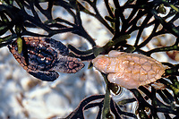 leucistic and normal loggerhead sea turtle hatchlings, Caretta caretta, Palm Beach, Florida, USA, Atlantic Ocean