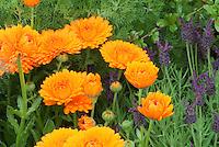 Calendula offcinalis + Spanish Lavender herb Lavandula 'Helmsdale' flowers and herbs