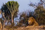 African Lion (Panthera leo) six year old male near Candelabra Tree (Euphorbia ingens), Kafue National Park, Zambia