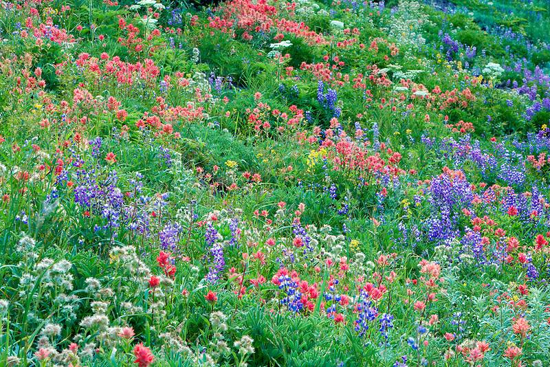 Mixed wildflowers. Mostly lupine, and paintbrush. Hurricane Ridge. Olympic National Park. Washington.