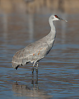 Sandhill Crane (Grus canadensis) standing in shallow water