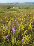 Nachusa Grasslands Natural Area, Illinois: Overview of sumer tallgrass prairie and rolling hills