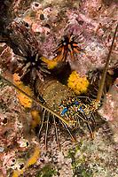 Spiny lobster, Pacific Ocean, Ecuador, Galapagos, , Arthropod