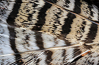 Closeup of a bird feather In the Adirondack Mountains of New York State