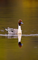 Northern Pintail, Anchorage, Alaska