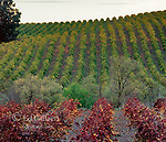Autumn Grapevines, Carneros Appellation, Napa Valley, California